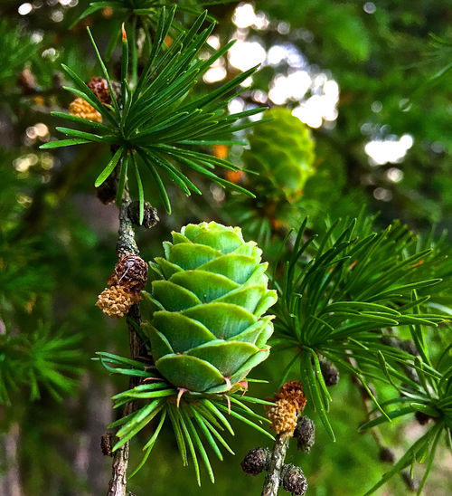 Background For Quotes Beauty In Nature Branch Climate Change Close-up Cone Day Environmental Protection Focus On Foreground Freshness Green Color Growth Leaf Nature Needle No People Outdoors Presentation Background Tree