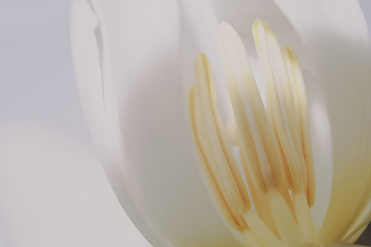 Fujifilm X-M1 mit Ricoh Rikenon 35-70mm, KenkoExtensionTubes & 4 Wege-Makroschlitten.... Dof Nature Macro Macro Photography Macro_collection Macro Beauty Jacqueline Schreiber No People Beauty In Nature EyeEm Nature Lover Focus On Foreground Fujifilm Fujifilm_xseries Fujifilm X-m1 Tulip White Tulips White Background Close-up