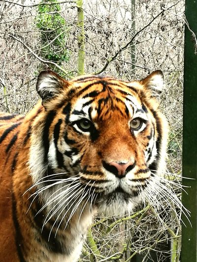 Tiger One Animal Animal Themes Looking At Camera Big Cat Portrait Mammal Animal Wildlife Nature Feline Animal Markings Outdoors Close-up Tigers Tiger-love Tiger Love Tiger Face Tigers❤