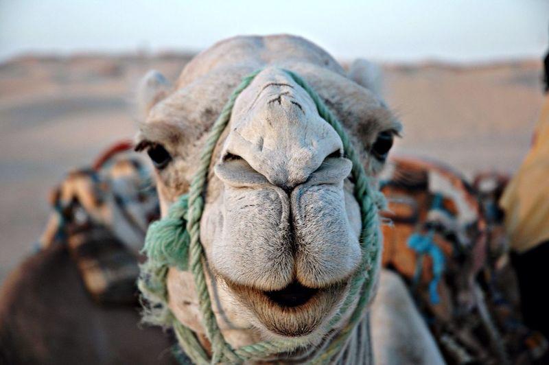 Smile!!! Animals .Douz. Sahara.Tunisie Desert Funny