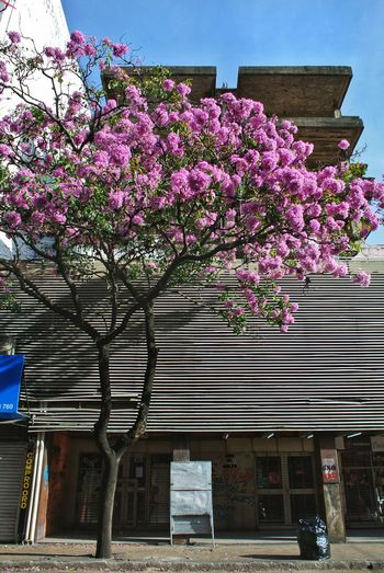 Pink cherry blossom by tree against building