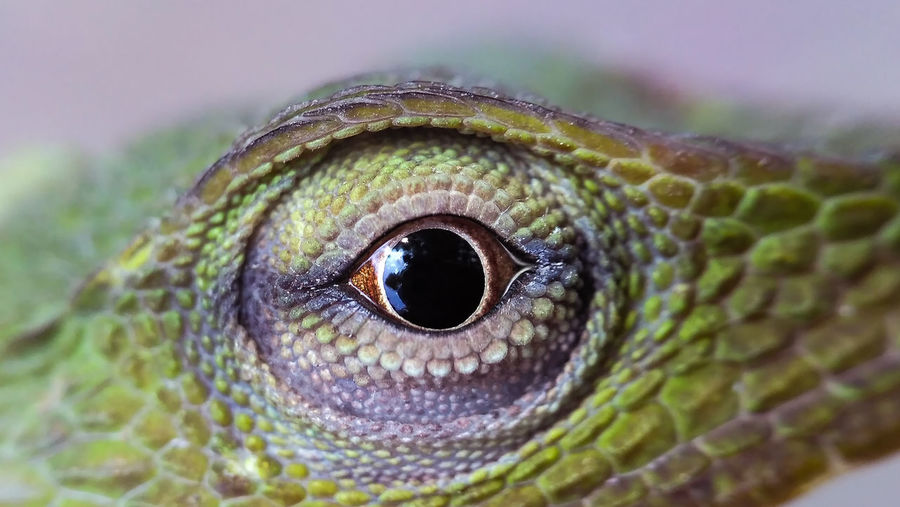 Cropped image of chameleon eye