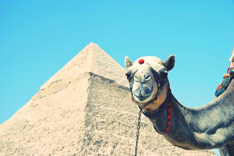 Camel poses in front of pyramid