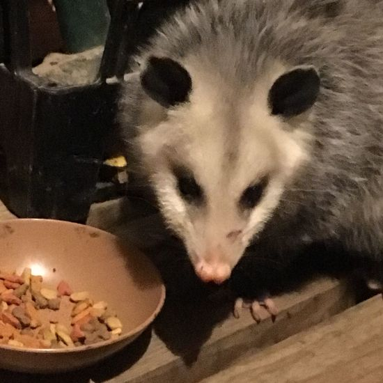 Animal Themes Bowl Close-up Day Domestic Animals Domestic Cat Eating Food Food And Drink Indoors  Mammal No People One Animal Oppossum Pets