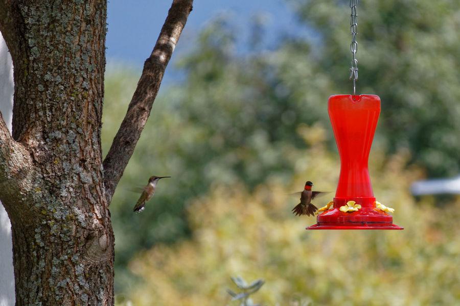 Hummingbirds Animal Themes Animal Wildlife Animals In The Wild Bird Feeder Focus On Foreground Humingbird Humingbird In Flight Hummingbird Nature Red Tree
