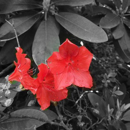 Red flowers Red Flowers Splash Colorsplash Bw Blackandwhite Blancetnoir Blancinegre Paris France