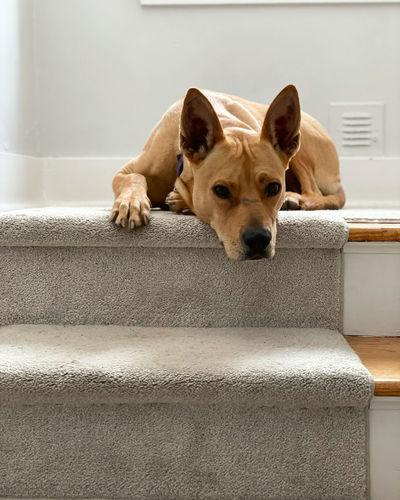 Portrait of dog resting on floor