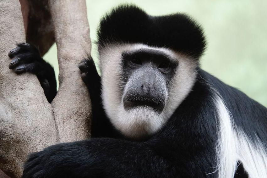 Monkey Black-and-white Colobus Animal Head  Old World Monkey Colobus Monkey Colobus Mammal Primate One Animal Vertebrate Animal Wildlife Close-up People Animal Body Part Nature Portrait Animals In The Wild Black Color Ape Outdoors