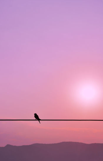 Silhouette of single swallow standning on a wire at the sunset