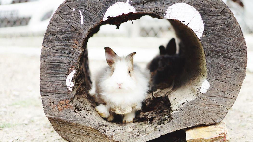 Rabbits 🐇 Rabbits Close-up No People Outdoors Day Pets Animal Themes Domestic Animals