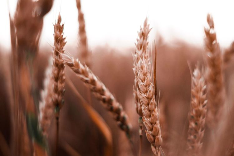 Close-up of wheat in farm