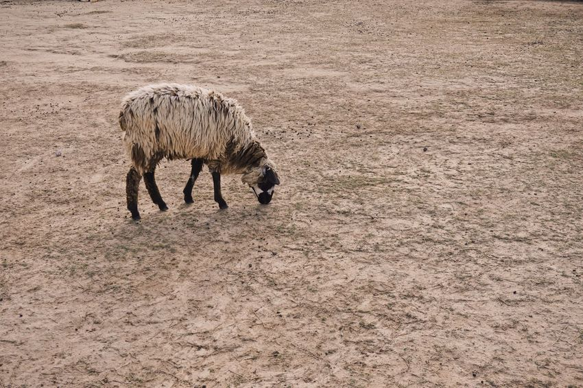 Sheep 🐑 Sonyalpha Sony A6000 Livestock One Animal Animal Themes Domestic Animals Horse Outdoors Agriculture Nature Landscape No People Grazing