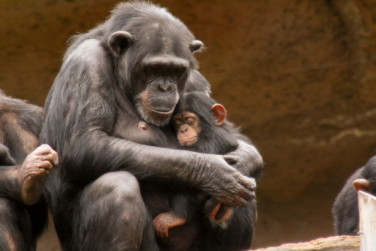 Close-up of monkey embracing infant