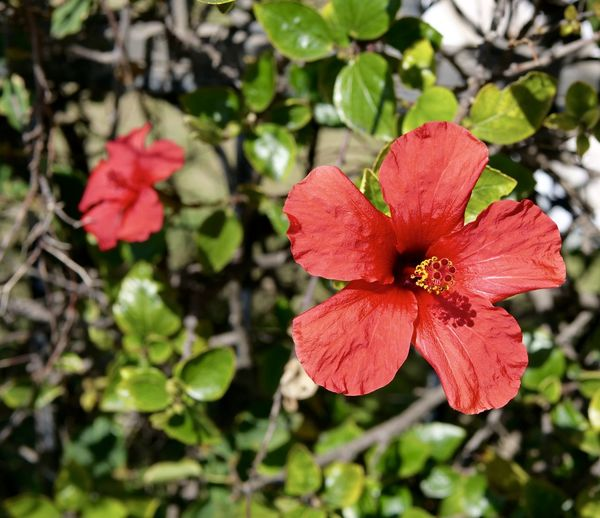 Red hibiscus blooms Portuguese Hibiscus Red Hibiscus Blooms Beauty In Nature Close-up Crimson Red Blooms Flora Flower Flowering Plant Fragility Freshness Growth Nature No People Petal Plant Plant Part Red