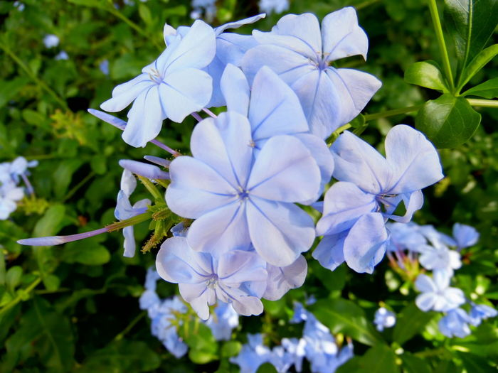 Beauty In Nature Blooming Blossom Blue Blue Plumbago Botany Close-up Depth Of Field Flower Flower Head Focus On Foreground Fragility Freshness Garden Growth Lush Foliage Nature Nature Nature_collection Nature's Diversities Petal Macro Beauty RePicture Growth Selective Focus Springtime