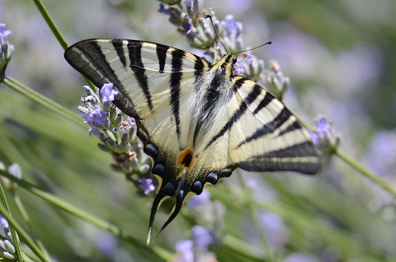 Close-up of butterfly pollinating on purple flower