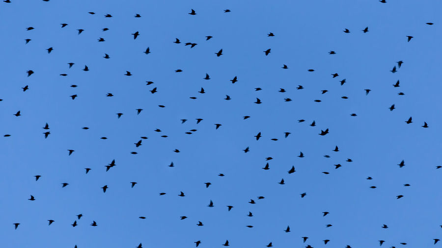 Starlings flying in the twilight blue sky Abundance Animal Animal Themes Animal Wildlife Animals In The Wild Beauty In Nature Bird Birds Blue Day Flock Of Birds Flying Group Of Animals Large Group Of Animals Low Angle View Mid-air Nature No People Silhouette Sky Vertebrate
