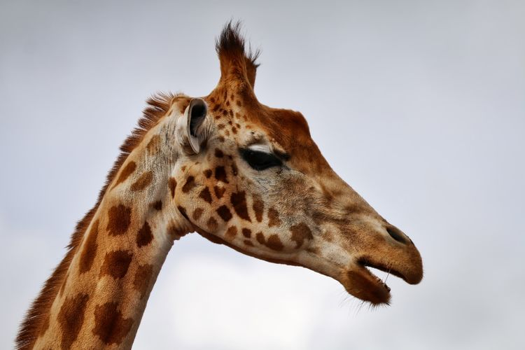 Close-Up Side View Of A Giraffe Against Clear Sky
