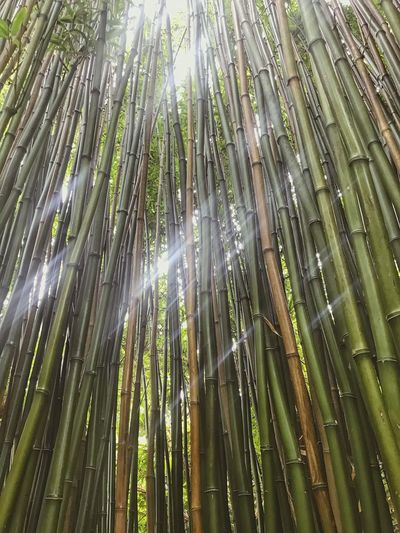 Bam! Boo! Bamboo Grove Bamboo - Plant Nature Outdoors Growth Beauty In Nature No People Green Color Day Forest IPhoneography EyeEmBestPics EyeEm Gallery EyeEm Eye4photography  IPhone Iphone7 Iphonephotography IPhone Photography Beauty In Nature Nature Garden Garden Photography Freshness Full Frame