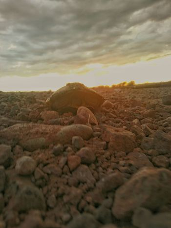 A new found pyramid? No just a turtle trying to cross the road! 43 Golden Moments CHWYLWY!