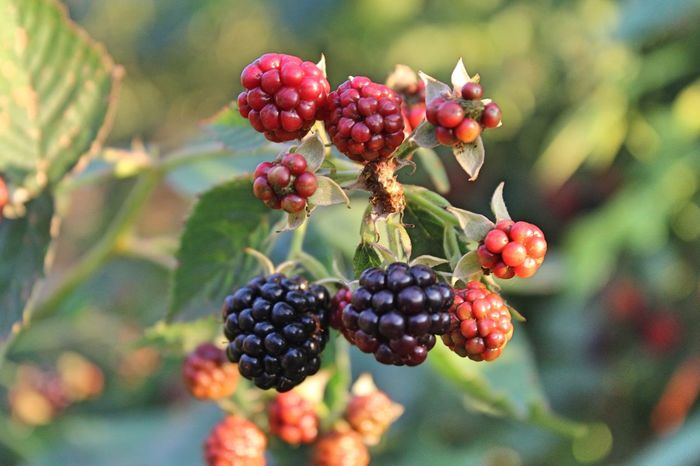 Blackberry Close-up Day Focus On Foreground Food Food And Drink Freshness Fruit Growing Growth Healthy Eating Mulberry Nature Outdoors Red Tree