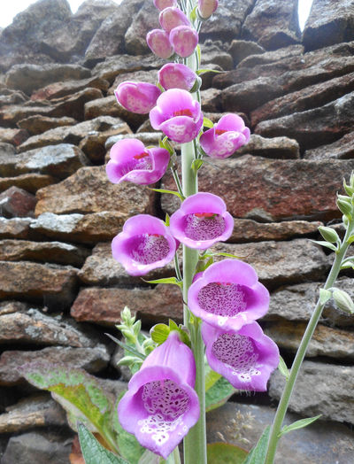 Blooming Close-up Detail Digley Dell Dry Stone Wall Flower Flower Head Foxglove Growth Holmfirth In Bloom Pink Color Purple Stone Wall Yorkshire