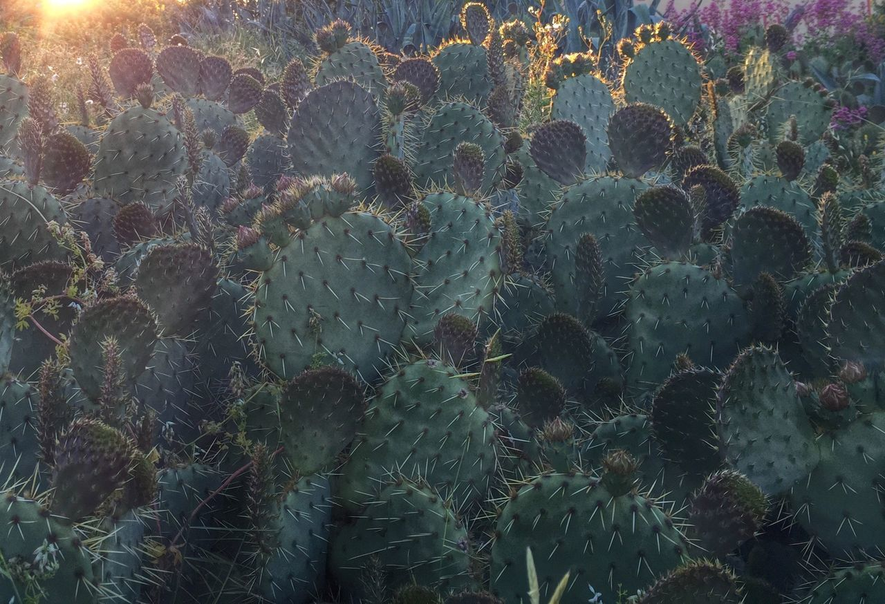 Full frame shot of prickly pear cactus plants