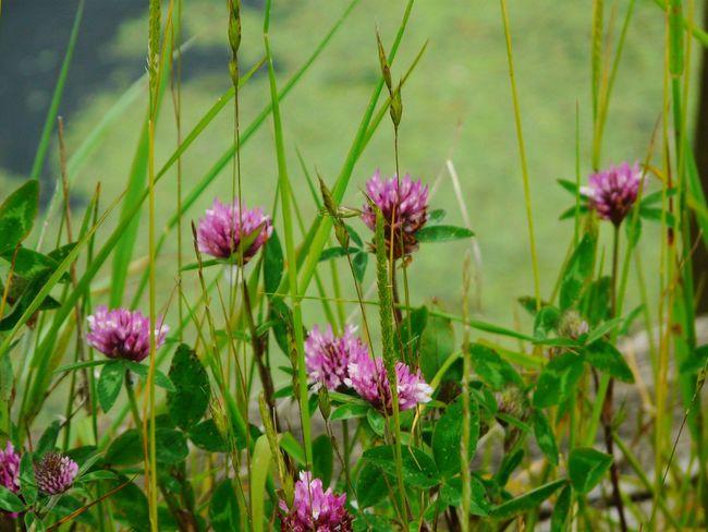 Clover Flower Somerset Levels Uk Meadow Flowers Natures Diversities Nature Yeah Springtime! Relaxing Taking Photos Nature On Your Doorstep