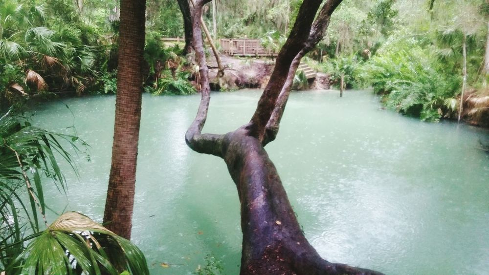 Tree Trunk Crazy Nature Awkward Trees Water Nature No People Beauty In Nature Tree Green Springs Florida Rain Healing Waters Florida Springs Native American Sulfar Water