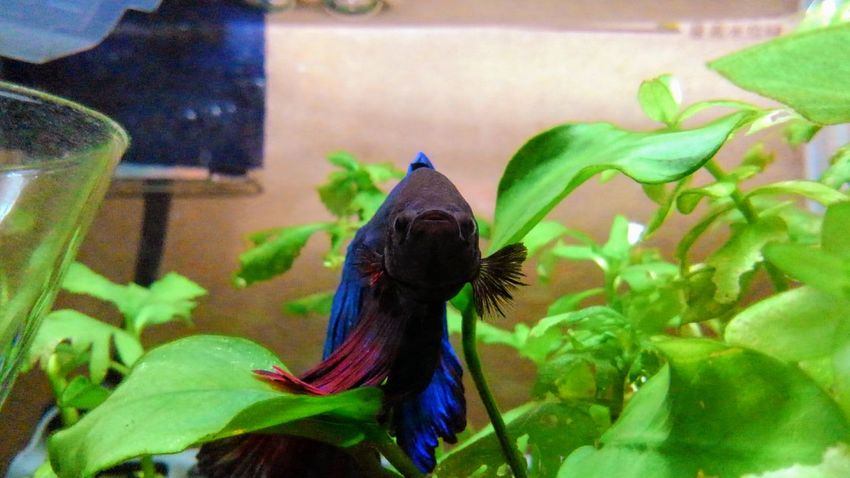 my lovely bettafish Betta  Betta Splendens Bettafish Bettafishcommunity One Animal Animal Wildlife Animals In The Wild Animal Themes Plant Reptile Day Nature No People