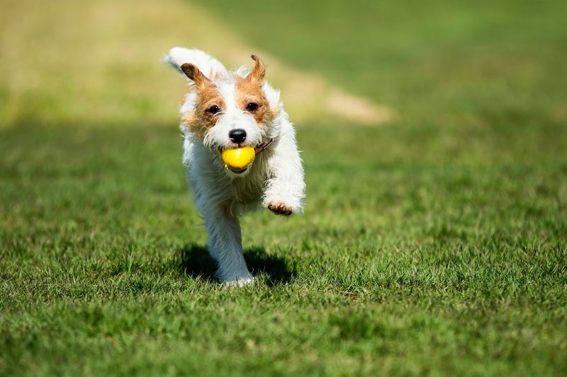 Dog Carrying Yellow Ball On Grass