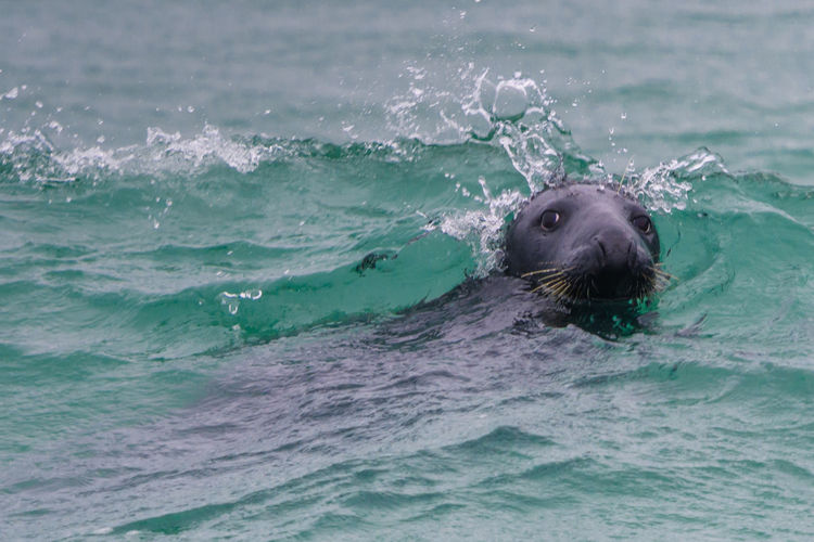 Gray Seal playing in the waves Animal Animal Body Part Animal Head  Animal Themes Animal Wildlife Animals In The Wild Aquatic Mammal Day Mammal Marine Motion No People Ocean One Animal Outdoors Sea Sea Life Seal Spalsh Swimming Underwater Vertebrate Water Waterfront Waves