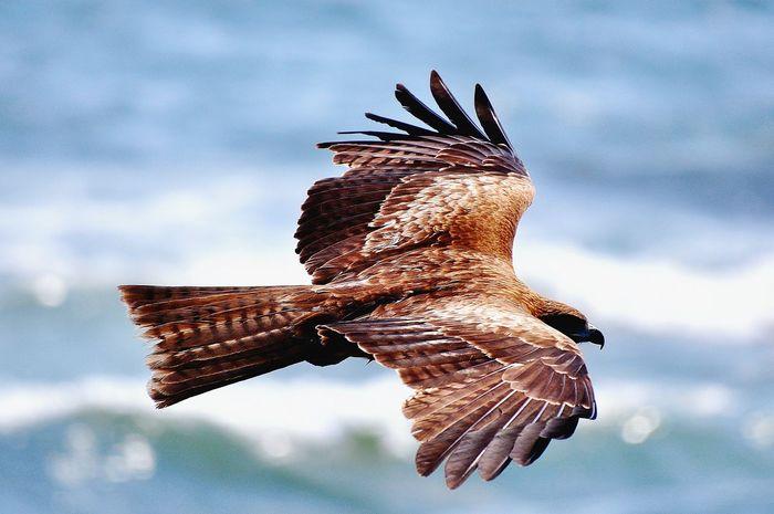 Bird Nature Eagle Fly Sea Beach