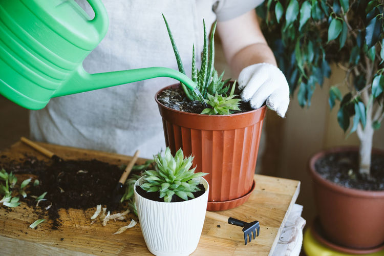 Home garden. houseplant symbiosis. how to transplant repot a succulent, propagating succulents.