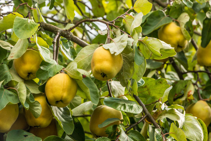 Yellow quinces and green leaves on a tree in the garden Apple - Fruit Beauty In Nature Branch Close-up Day Food Food And Drink Freshness Fruit Green Color Growth Healthy Eating Leaf Nature No People Outdoors Ripe Tree Unripe Yellow