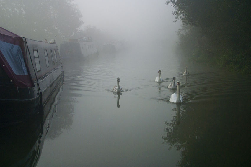 Animal Themes Beauty In Nature Bird Canals Canals And Waterways EyeEmNewHere Five Animals Five Birds Flock Of Birds Fog Foggy Hazy  Kennet And Avon Canal Mist Narrowboat Nature No People Reflection Swan Swans Transportation Water Weather