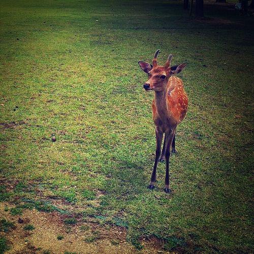 奈良公園の鹿さん Deer