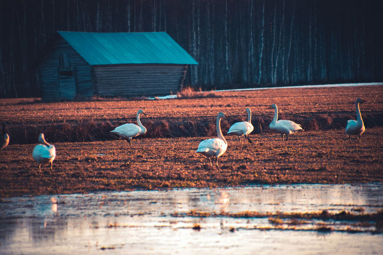 Swans have returned to the Nordic region Bird Animal Themes Group Of Animals Vertebrate Animal Animal Wildlife Animals In The Wild Water No People Wood - Material Nature Day Large Group Of Animals Built Structure Selective Focus Outdoors Perching Land Flock Of Birds Field Swan Swans Finland Lapland Beauty In Nature Building Barn Grass Nature_collection Nature Photography Landscape Landscape_photography Photography Trees Woods Forest Beautiful Calm Freshness Migratory Birds Scenics Scenery Countryside Agriculture Natural Season  Spring Springtime Weather Taking Photos