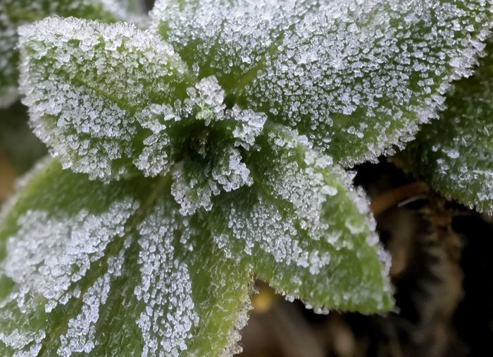 Sugar coated, frosty flower and leaves. Frost Frosty Frosty Mornings Frosty Leaves Frosty Flower Flower Leaf Nature Close-up Macro Plant Cold Temperature Green Color Winter No People Day Outdoors Beauty In Nature Sugar Coated Frosted