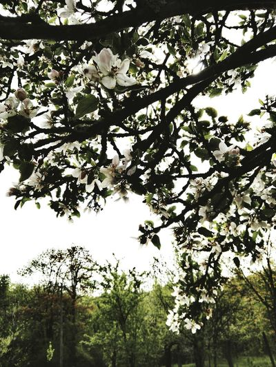 Tree Low Angle View Branch Growth Nature Beauty In Nature Outdoors Day No People Sky Freshness Mobile Photography 3XSPUnity Blooming Blossoms Tree Blooming Blooms Fresh Beauty Nature Environment Enlighten Envigure Bright Flowers