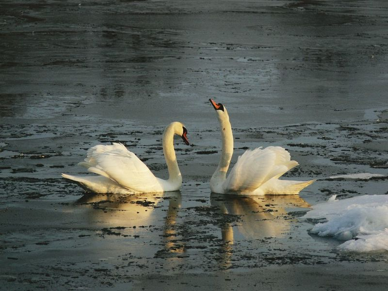 Swans Bird Animals In The Wild Swimming Animal Themes Animal Wildlife Nature Water Lake Water Bird No People Outdoors Beauty In Nature Swan Day