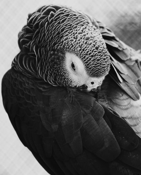 Bird One Animal Close-up Parrot Parrots Of Eyeem Nature_collection Naturelovers Birds Of EyeEm  Birds_collection Blackandwhite Black & White Bnw_collection Bnw_captures Bw_lover Bw_collection