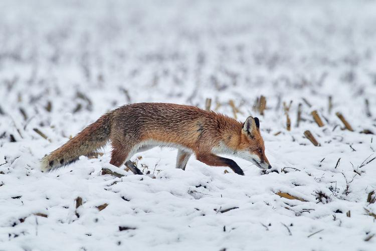 View of fox walking on snow