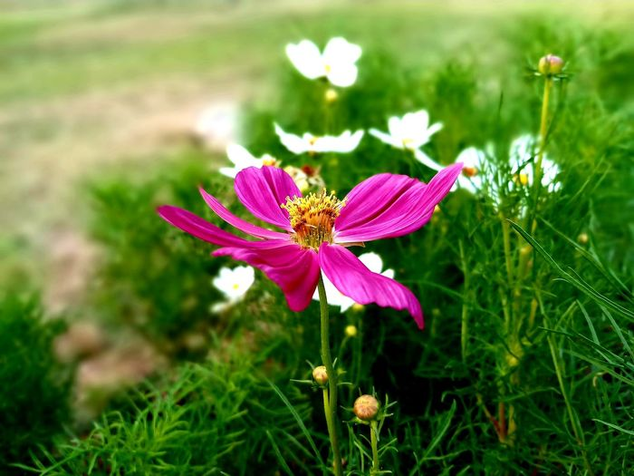 Beauty In Nature Blooming Close-up Day Flower Flower Head Freshness Growth No People Outdoors Plant