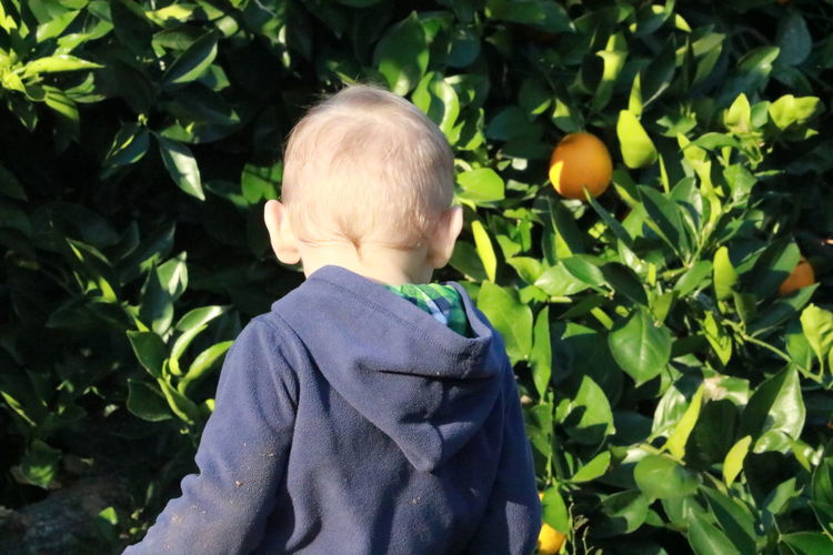 Rear view of toddler standing by orange tree on sunny day