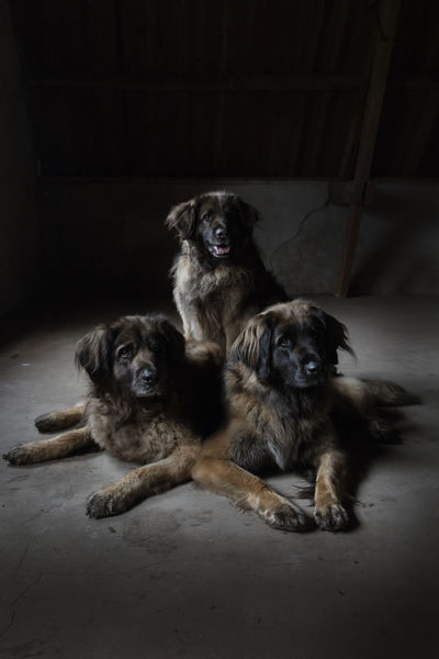 Friends Leonberger Leonberger Dog Love Low Key Sisters Alert Dog Animal Family Big Dogs Dog Domestic Domestic Animals Group Of Animals Indoors  Ladys Looking At Camera Pets Portrait Sitting Together Together Forever