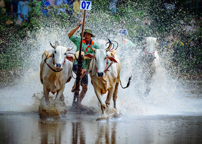 Man With Bulls Running In Pond During Race