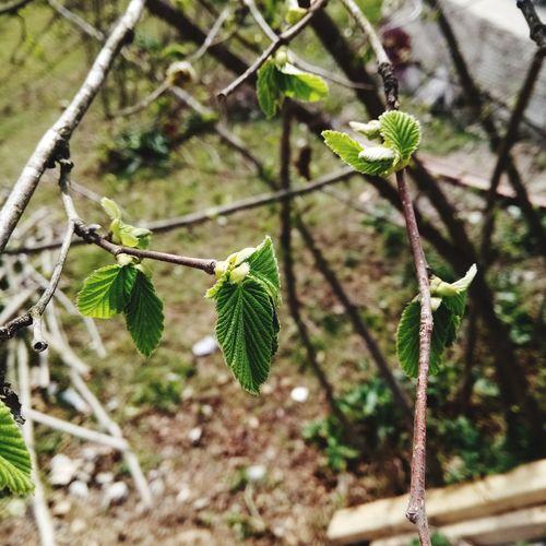 Yine yeşillendi finduk dalları. Trabzon Finduk