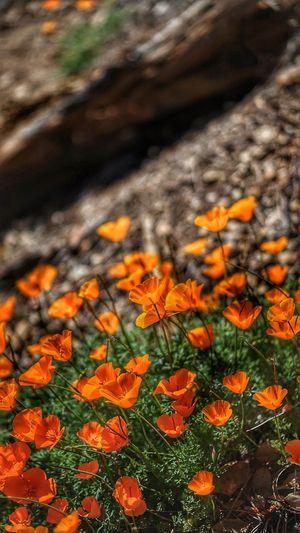 California National Park The Week Of Eyeem Walking Around Figueroa Mountain Enjoying Nature Landscape_Collection California Love Outdoor Photography EyeEm Best Shots Wildlife & Nature Flowers Wildflowers Poppies  Poppy Flowers