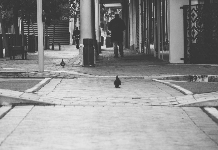 Pigeons crossing the road by using the walkway Bird Black City Crossing Lonely Low Angle View Melancholy Outdoors Pigeons Safety Streetphotography My Favorite Photo Eyeemawards2016 The Following